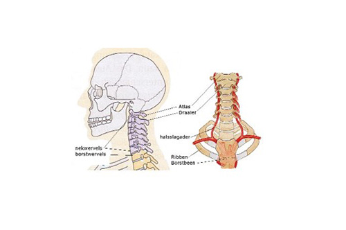 anatomie schedel en nek