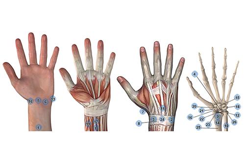 4 afbeeldingen hand huid spieren pezen botten