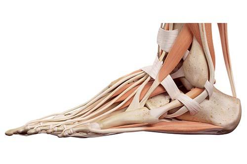 anatomie illustratie van de voetspieren en pezen
